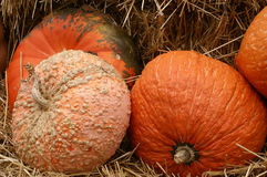 Autumn Holiday Pumpkins. Closeup of various types of pumpkins, fresh from the farmer's fields ready for the Autumn Harvest and Fall Holidays Royalty Free Stock Photos