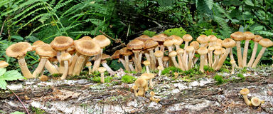 Autumn honey agaric mushrooms Royalty Free Stock Images