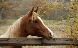 Autumn Horse. A friendly horse being curious during autumn Royalty Free Stock Photography