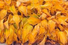 Autumn Hosta leaves background