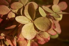 Withered hydrangea flowers royalty free stock image