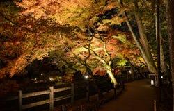 Autumn illumination of Japanese garden with maple trees at night Royalty Free Stock Photo