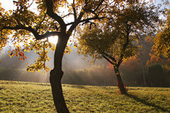 Autumn impression. Morning sun shining through two colored trees with the autumn mist in the background Stock Photos