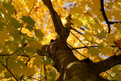 Autumn impression. Broad-leafed tree in the autumn Royalty Free Stock Photography