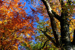Autumn impression. Broad-leafed tree in the autumn royalty free stock photo