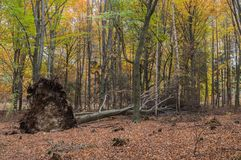 Autumn In A Beech Forest. Royalty Free Stock Photography