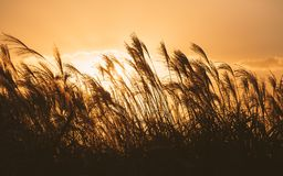 Free Autumn In Korea: Reeds Symbolize The Change Of Seasons Stock Images - 107510434