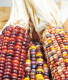 Autumn Indian Corn. Ears Of Indian Corn In Fall Colors Stock Photos