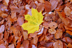 Autumn individualist Stock Photography
