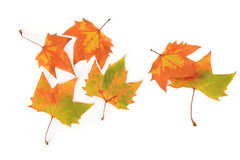 Autumn indus leaves. With white background Stock Photos
