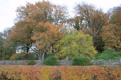 Autumn in Ireland. A hedge with some trees in the wonderful and colorful irish autumn Royalty Free Stock Photos
