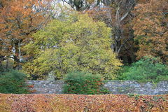 Autumn in Ireland. A hedge with some trees in the wonderful and colorful irish autumn Stock Photography