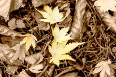 Autumn Isolated Gold Leaves On The Ground. Shallow Depth of Field Leaves on the grass Sepia background Royalty Free Stock Images