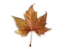 Autumn isolated leaf Stock Photos