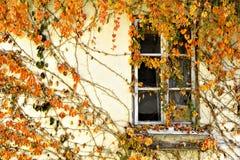 Autumn Ivy Royaltyfri Foto