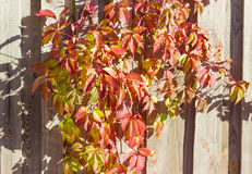 Autumn ivy on a background of a old wooden fence Royalty Free Stock Photos