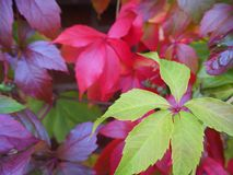 Autumn ivy Royalty Free Stock Photography