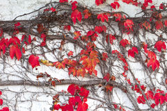 Autumn Ivy Leaves Stock Photo