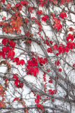 Autumn Ivy Leaves Stock Image