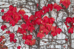 Autumn Ivy Leaves Royalty Free Stock Photos