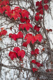 Autumn Ivy Leaves Royalty Free Stock Photography