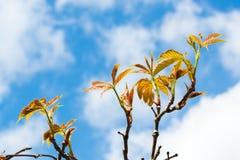 Autumn Ivy Vine produz as folhas novas na mola vista contra o céu 1 Fotografia de Stock