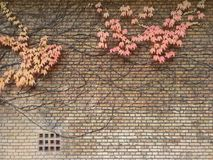 Autumn ivy on yellow brick wall stock image