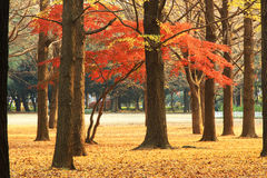 Autumn Japan Royalty Free Stock Photo