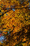 Autumn in Japan. Colorful maple leaf background in autumn,  Japan Stock Image