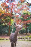 Red Leaf Deer in Nara, Japan stock image