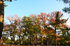 Autumn Japan le jaune rouge de couleur et vert Image libre de droits