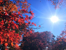 Autumn Japan with sun and sky. Autumn red leaf in Japan Stock Photography