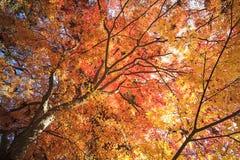 Autumn Japanese garden with maple Stock Image