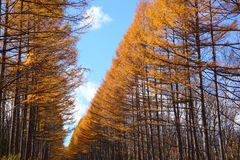 Autumn Japanese larch Royalty Free Stock Photo