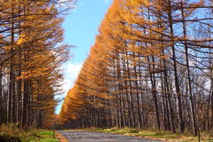 Autumn Japanese larch Stock Image