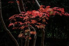 Autumn japanese maple tree branch stock image