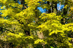 Autumn Japanese maple tree with yellow leaves. Autumn Japanese maple tree with green and yellow leaves against blue sky on the background. Selective focus Stock Image