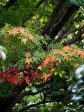 Autumn Japanese Maple Turning Color fotos de archivo