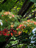 Autumn Japanese Maple Turning Color Stock Photos