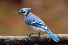 Autumn Jay. A blue jay (Cyanocitta cristata) perching on a branch in Fall Royalty Free Stock Image
