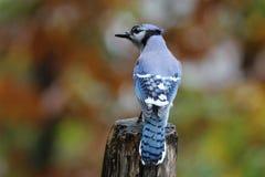 Autumn Jay Stock Image