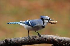 Autumn Jay com um amendoim Fotos de Stock