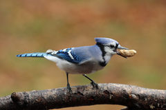 Autumn Jay with a Peanut. A blue jay (Cyanocitta cristata) perching on a branch in Fall with a peanut in its beak Stock Photos