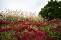 Autumn Joy Sedum Turning Red en la caída foto de archivo