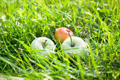 Autumn juicy organic apples Stock Photography