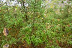 Autumn Juniper Branches in Karelia Russia Royalty Free Stock Image