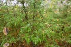 Autumn Juniper Branches in Karelien Russland lizenzfreies stockbild