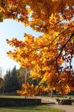 Autumn in Kaliningrad. Generic tree on autumn day, Kaliningrad Stock Photos