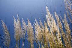 Autumn Kans grass Royalty Free Stock Photos