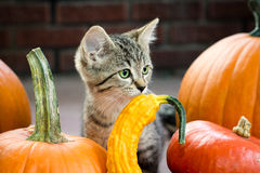 Autumn Kitten Imagen de archivo libre de regalías